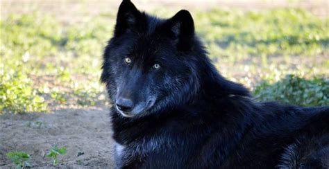 timber wolf puppies for sale timber wolf dogs for sale breeds picture