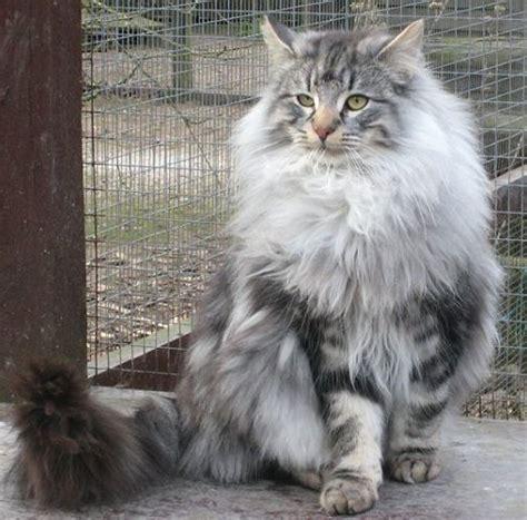 Calsedon White Cat Eye silver forest cat www pixshark images