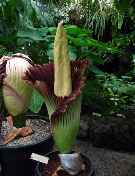 corpse flower botanical garden pollination strategies from corpse flower to the gardener
