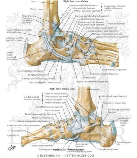 ligaments diagram foot tendons anatomy human anatomy diagram