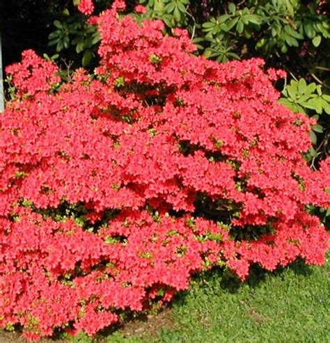 azalea bush colors 17 best ideas about azalea bush on flowering