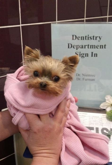 yorkie teeth problems pet dental health vetdentists page 5