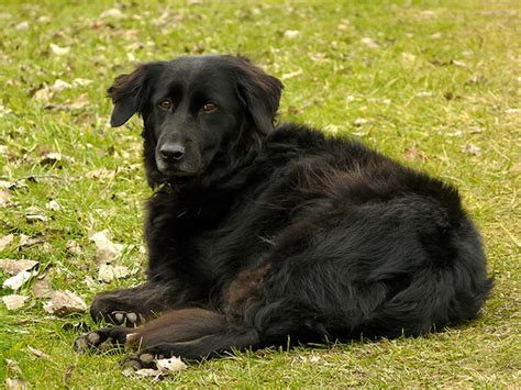 are there black golden retrievers golden mix that s all black page 3 golden retrievers golden retriever forums