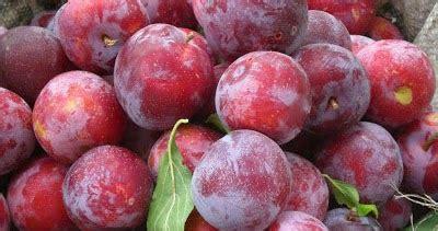 Jual Bibit Buah Dataran Rendah dhelta jual bibit buah plum merah dataran rendah