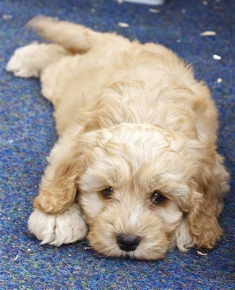 cockapoo puppy pictures cockapoo puppy photos the cockapoo club of gb