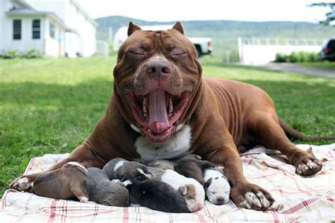 world pit worlds pitbull puppy breeds picture