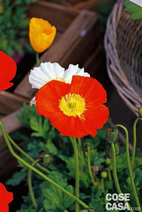 papavero fiore papaver nudicaule papavero d islanda cose di casa