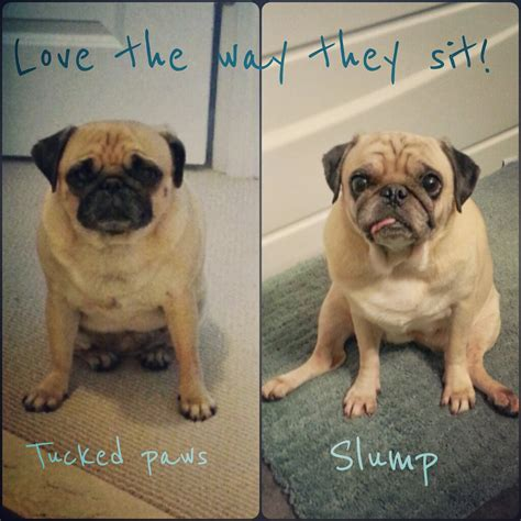 how much walking does a pug need lil smug pug faqs
