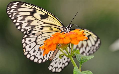 black and white butterfly wallpaper black and white butterfly 1920x1200 wallpaper