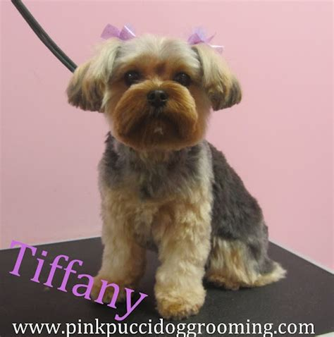 grooming styles for silky terriers search results for silky terrier haircuts pictures