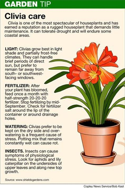 clivea miniata an easy care flowering houseplant hubpages 115 best images about south african clivias on pinterest