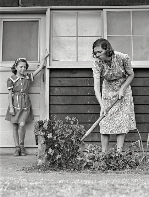 shorpy historic picture archive  garden  mums