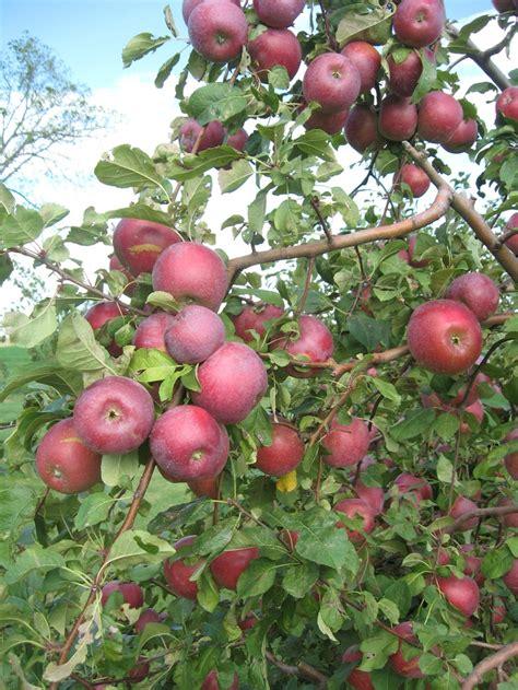 b fruit x apples on tree the fruity
