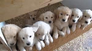 golden retriever bebe b 233 b 233 chien golden retriever r 233 sultats aol de la recherche d images