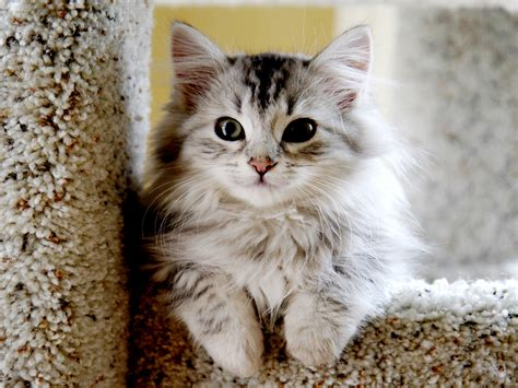 cat breeders top 10 siberian cat breeders amo