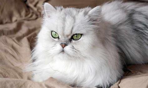 gatti persiani chinchilla te lo contamos todo sobre la raza de gato persa chinchilla