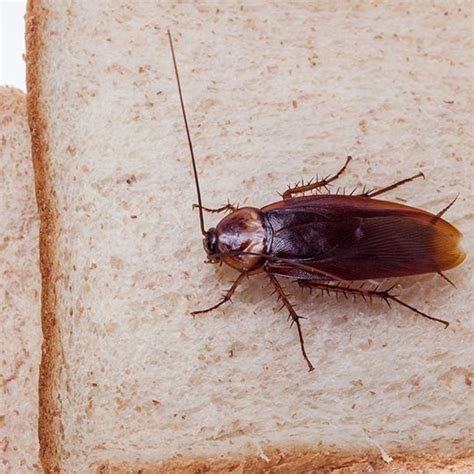 do roaches eat bed bugs prevent cockroaches keep your house pest free with these tips