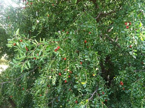 home fruit trees arkansas fruit tree production tips apple pear