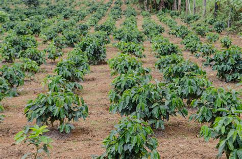 Kopi Jepara Robusta Jepara Kopi Nusantara kopi robusta pt nusantara