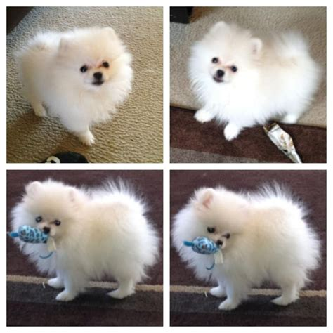 white pomeranian names white pomeranian puppies for sale by the bomb poms see our website at http www