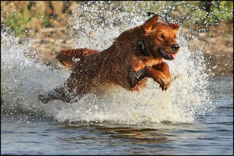 golden retriever in water golden retriever top 12 tips to master