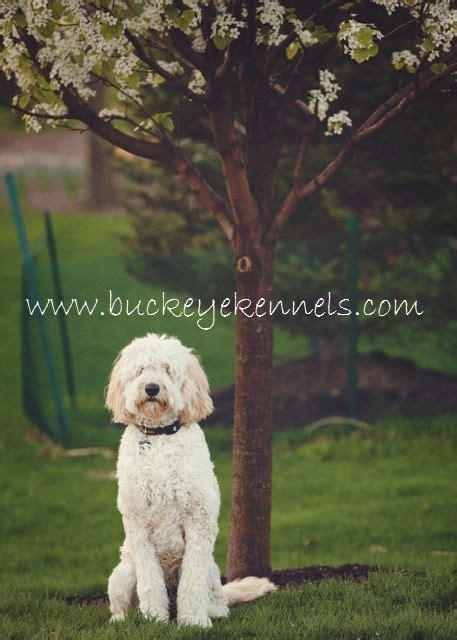 f1b more golden retriever best 25 f1b goldendoodle ideas on f1b mini goldendoodle puppy
