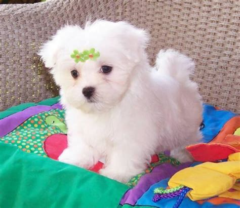 maltese puppies for sale az 301 moved permanently