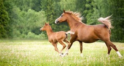 pferde decken lassen wie oft und wie lange ist eine stute rossig