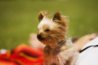 are yorkies hypoallergenic are terriers hypoallergenic pets