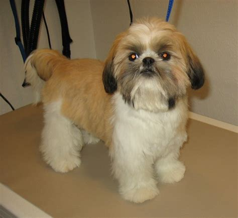 teddy cut on shih tzu pictures of shih tzu haircuts cut hairstylegalleries