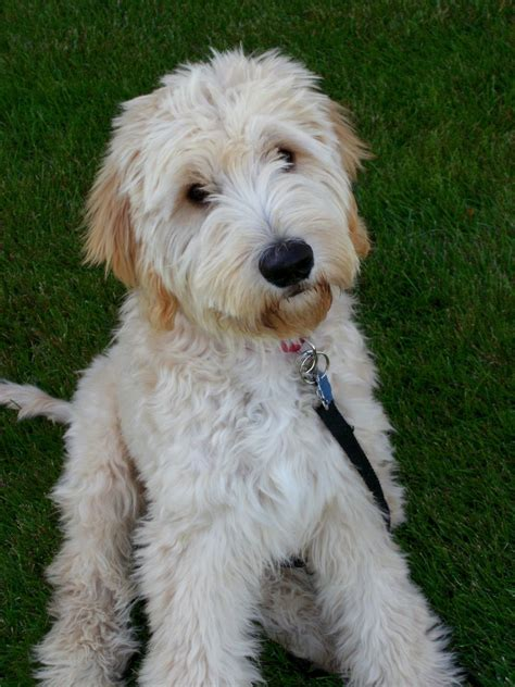 goldendoodle haircuts styles mini goldendoodle grooming styles google search doggie