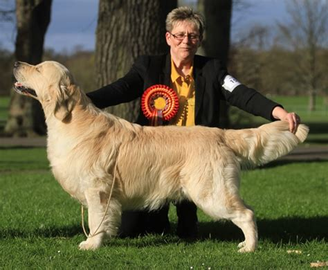 golden retriever puppies scotland ch show 2014