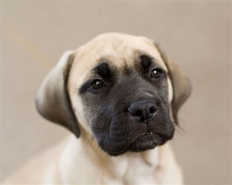 A Picture Of A Mastiff