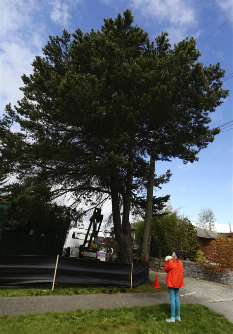 light pine city city light heeds tree sitter leaves pine standing the
