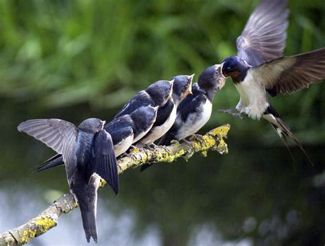 swallows feeding bobwinn s gallery gallery lumix g