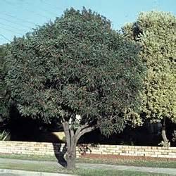 Blue Foliage Plants - hakea laurina growing native plants