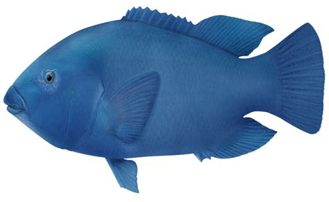 Piyama Anak Gw 136 K Fish blue groper marine and estuarine scale fish catch limits and closed seasons recreational