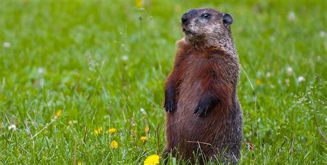 groundhog day legend groundhog day and your search dupage at work