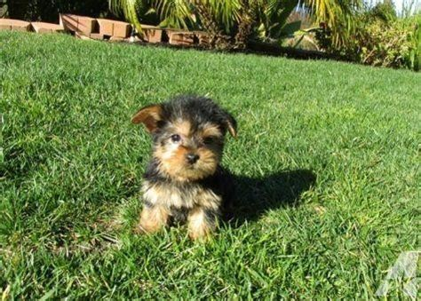 yorkie puppies for adoption in michigan and adorable yorkie puppy for adoption for sale in lansing michigan classified
