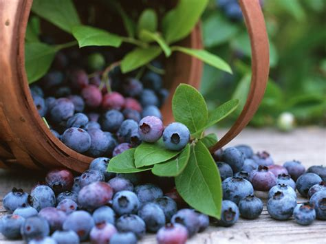 Top Hat Patio Blueberries by Top Hat Blueberry Plant Patio Outdoors Bonsai Ebay