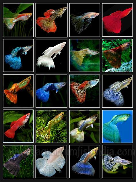 imported guppies  sale  india imported aquarium