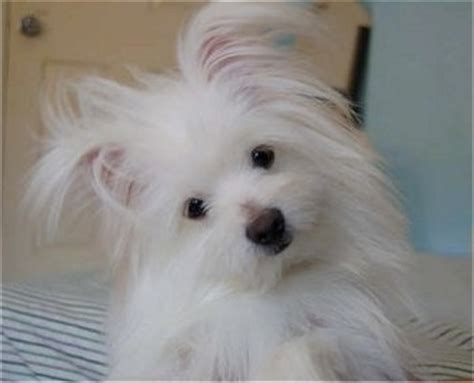pomeranian and maltese mix maltipom breed information and pictures
