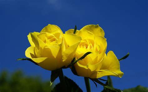 imagenes rojas y amarillas fotos de rosas florpedia com