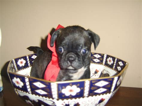 bull pug for sale bull pug cross puppies for sale spalding lincolnshire pets4homes