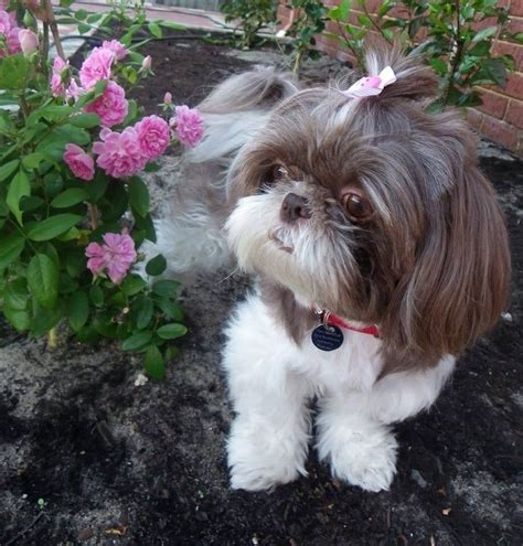 shih tzu tips advice the right shih tzu haircut