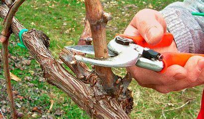 potatura vite uva da tavola la potatura della vite pu 242 gi 224 iniziare vita in cagna