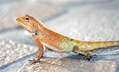 common  garden lizard ray cannons nature notes