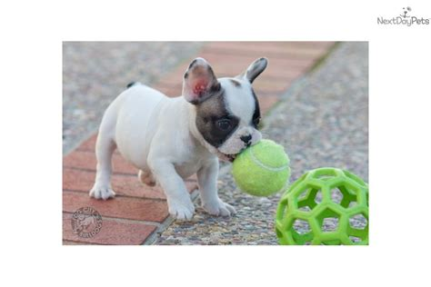 bulldog puppies for sale bay area bulldog puppy for sale near san francisco bay area california b3bedbef 06c1