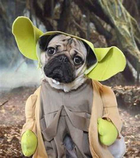 yoda the pug doug the pug gives costume advice east