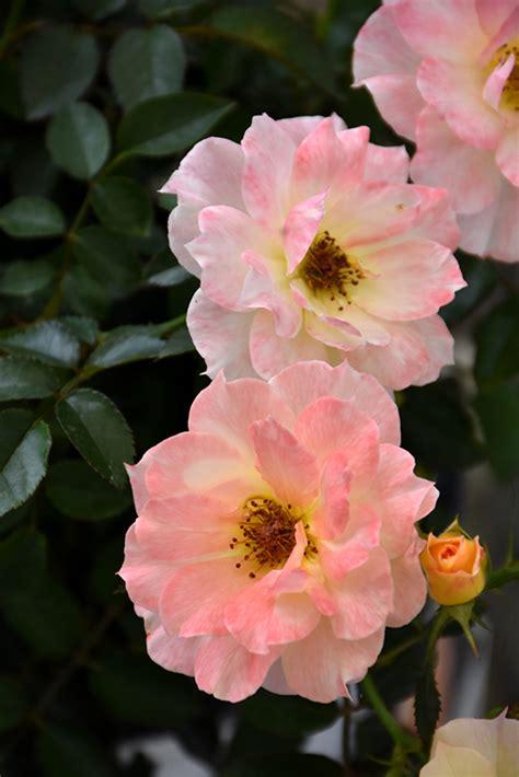 oso easy italian ice rose rosa chewnicebell